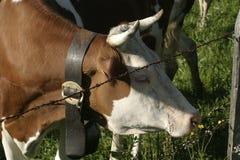 Dairy Cows near Gruyere, Switzerland Stock Photo