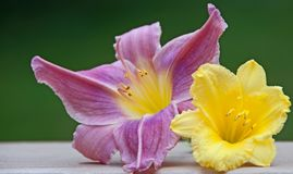 Complimentary Daylily Flowers Stock Images