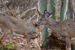 Photo of two deers licking each other Royalty Free Stock Images