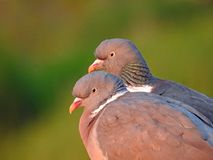 Two lovebirds wood pigeons royalty free stock photography