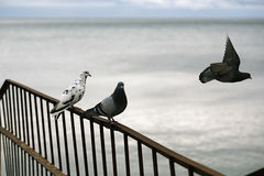 Photo of two pigeons mourners third Stock Photography
