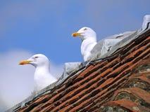Rooftop nesting seagulls stock photos
