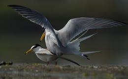 Male and female seabird in the seashore stock image