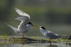 Two seabird with one food between them royalty free stock photos