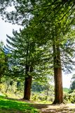 Two tall trees in a forrest stock photo