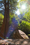 Photo of two trees in Yosemite Royalty Free Stock Photography