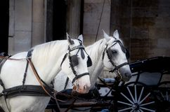 Photo of Two White Horse With Carriage Stock Image
