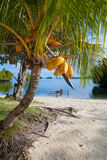 Photo Untouched Tropical Beach in Bali Island. Palm with fruits. Vertical Picture. Stock Photos