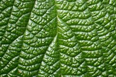 Photo of the vascular system of a bush leaf. This plant has a palmate-veined petiole. Royalty Free Stock Photo
