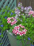 Verbena growing in small space garden potted plants Royalty Free Stock Photography