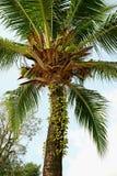 Photo verticale d'angle faible un palmier fructueux de noix de coco contre le ciel bleu-clair photographie stock