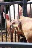 Photo verticale des porcs domestiques à la ferme d'animaux Photo stock