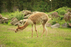Photo of vicuna (vicugna) eating grass Royalty Free Stock Photo
