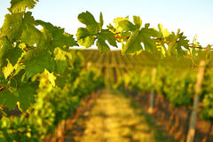 Photo vine leaves in the background view on vineyard Stock Photography
