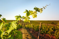 Photo vine leaves in the background view on vineyard Stock Photos