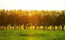 Vineyard in the golden sun stock photography