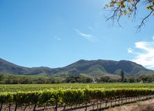 Photo of vineyards at Groot Constantia, Cape Town, South Africa, taken on a clear early morning. Mountains in distance. royalty free stock photography