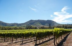 Photo of vineyards at Groot Constantia, Cape Town, South Africa, taken on a clear early morning. Mountains in distance.
