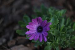 A photo of a violet flower made with a helios 44m lens. Beautiful royalty free stock photography