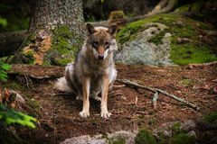 Sad wolf. The photo is from visitor centrum in Nationalpark Sumava in the Czech Republic. It was set mostly for education reasons. In the Czech Republic, people stock images