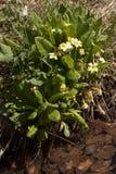Photo vulgaris de fleur de primevère de primevère Image libre de droits