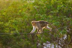 Dexterous Monkey walking on the the electric wire in the jungle. Photo of walking Monkey by the electric wire in the jubgle Stock Photo
