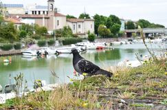 Lovely pigeon, Rimini, Italy royalty free stock photos