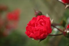 The nice red rose in the garden. This photo was made yesterday during a nice walk in the morning in the garden stock photo