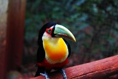 Colorful Tucan. This photo was shooted in a zoo, look in the eyes and guess stock photography