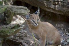 Caracal kitten. royalty free stock photo