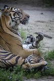 Sumatran tiger cub playing with mother. Photo was take in the zoo stock photography