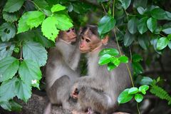 The Monkey Family. This photo was taken at Alagarkoil. Alagar koyil is a village in Madurai district in the South Indian state of Tamil Nadu stock photography