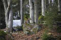Lynx on the rock. Photo was taken in Bavarian Forest National Park Stock Photo