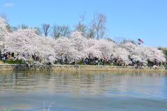 Washington DC, Columbia, USA - April 11, 2015: Spring Cherry Blossoms Stock Photo