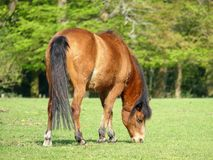 Beautiful brown horse grazing in field at springtime royalty free stock photography