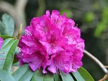 Beautiful ornamental red rhododendron flower stock photography