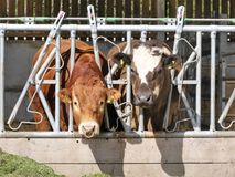 Bull and cow eating grass through pen fence royalty free stock image