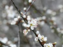 Close-up of hawthorn blossom stock photography