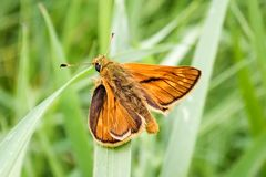Close-up of male Large Skipper Butterfly royalty free stock image