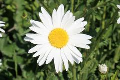 Close-up of Ox-Eye Daisy or Marguerite stock image