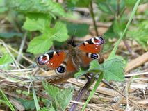 Close-up of Peacock Butterfly sitting on ground royalty free stock photo