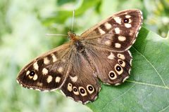 Close-up of Speckled Wood Butterfly sitting on a green leaf royalty free stock photography