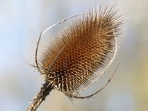 Close-up of teasel plant head. This photo was taken in Chorleywood, Hertfordshire, England, UK royalty free stock photo