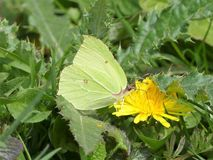 Common brimstone butterfly sucking up nectar from a dandelion flower royalty free stock image