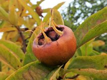 Fruit of Common medlar Mespilus germanica royalty free stock image