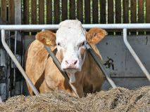 Hereford cow eating hay through pen fence royalty free stock photo