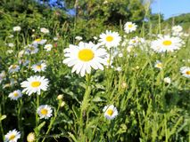 Ox-eye daisies in farm hedgerow stock photos
