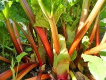 Red stems of rhubarb Rheum rhabarbarum growing in vegetable allotment royalty free stock photography