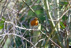 Robin perched on branch in springtime stock photo