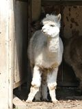White alpaca standing at entrance of shelter royalty free stock photo